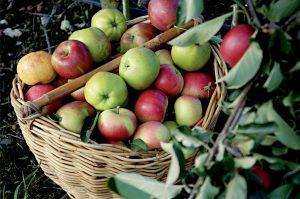basket_of_apples_5621901